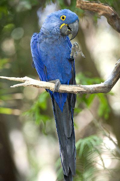 hyacinth_macaw_playing_in_tree_pantanal_brazil_600