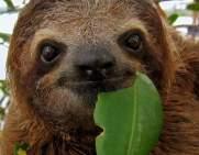 three-toed-sloth
