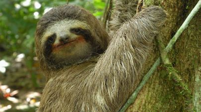 3toed-sloth-1280x720