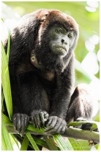 Ecuadorian Howler Monkey 4