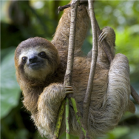 Sloth-Hanging-Out_300x300