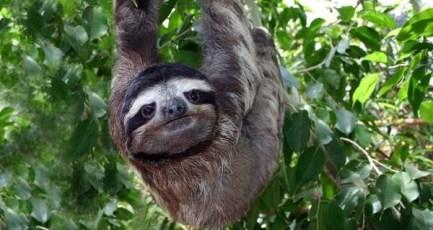 Sloth_large