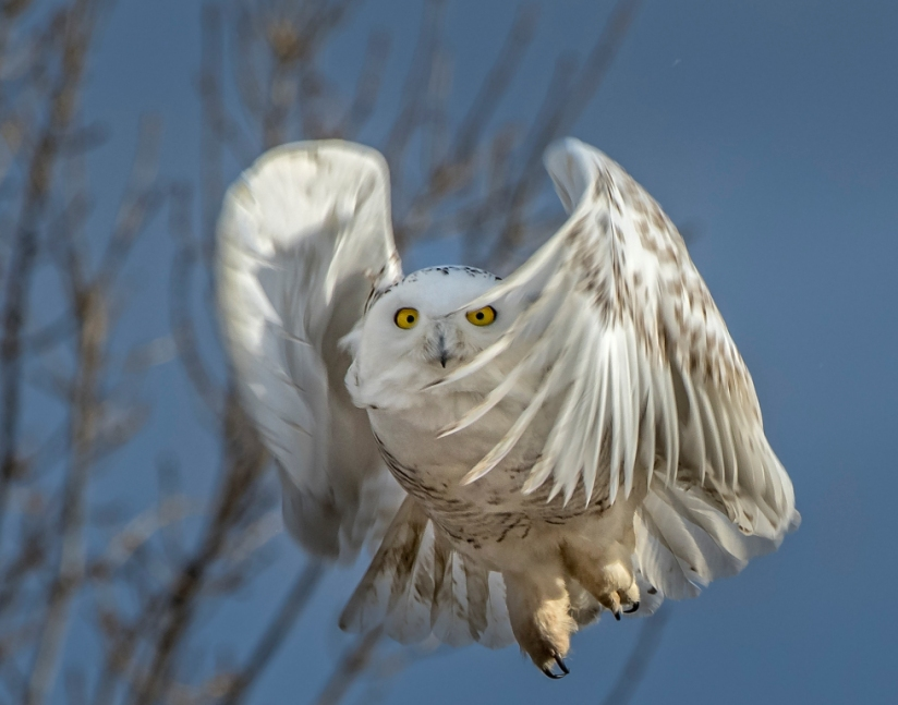 snowy owl in Colorado